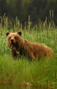 DOCUMENTARY Nature PBS, 8 p.m. Welcome to bear country. Tonight's episode of this revered documentary series was filmed entirely at Admiralty Island in southeast Alaska, which serves as the home of the largest concentration of grizzly bears anywhere on the planet. Since time began the bears have dined on the salmon run that begins each August, but weather changes in recent years have denied the great lumbering beasts their annual fish buffet. As a result, the entire circle of life is out of whack, since the trees in the region depend on the bears to spread the nitrogen-rich bodies of salmon throughout the forest. Watch and see how scientists are working to revert the ecosystem to normal.