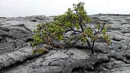 The Ohia tree is the first plant to grow in the cracks of hardened lava.