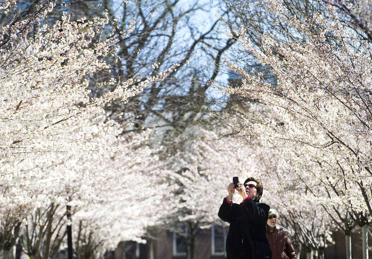 A woman takes a photo of flowering crab apple trees on a sunny day in Toronto.