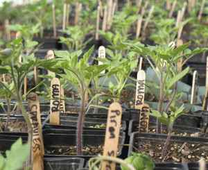Tomato plants waiting to be transplanted.