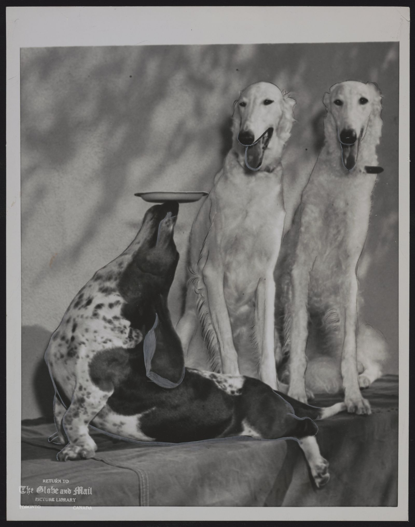 DOG Borzois Tongues hanging out in admiration, two white Borzois watch Cleo the Basset hound performing like a well trained seal in Hollywood. White wolfhounds, valued at $40,000 are named Baron and Lady Wolfschmidt.