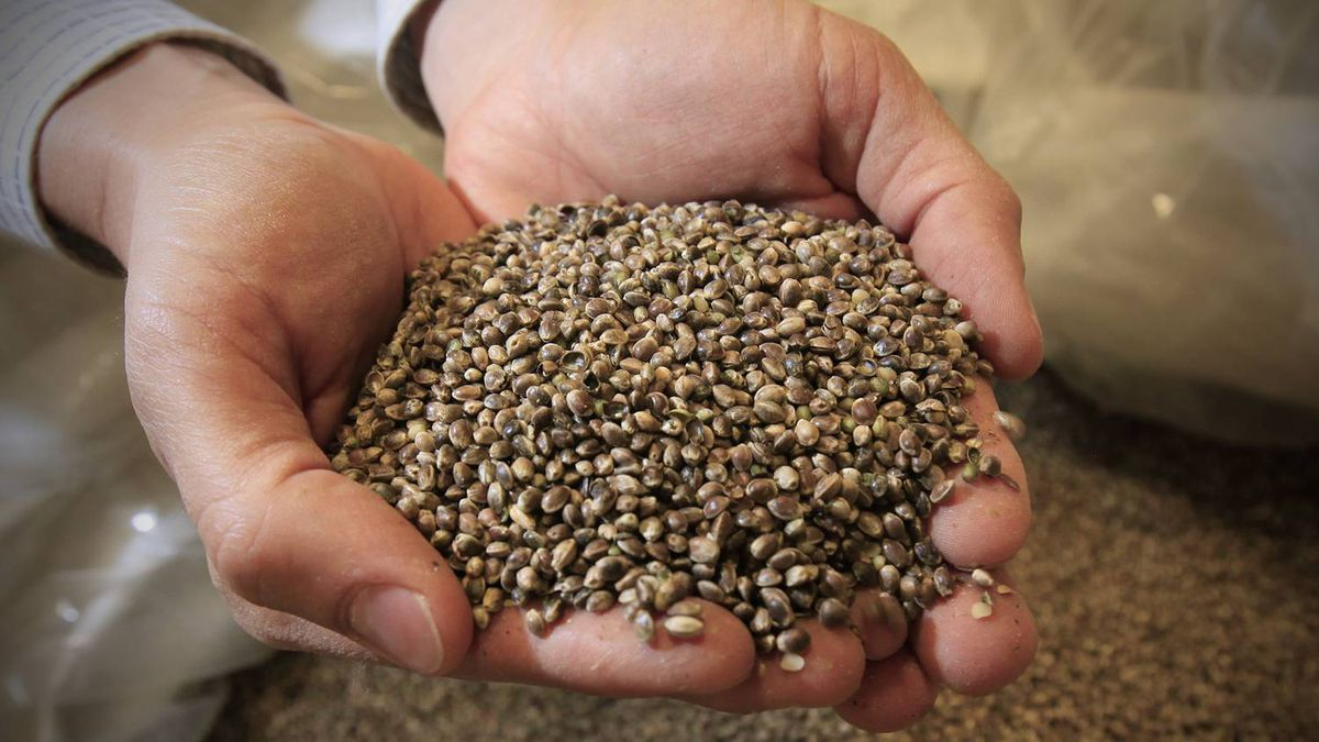 A close-up of unshelled hemp seeds being held by Mike Fata, co-founder and CEO of Manitoba Harvest Hemp Foods
