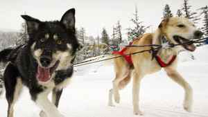 A team of sled dogs near Whistler January 16, 2012.
