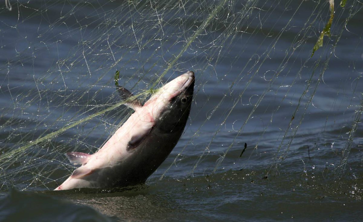 A sockeye salmon is caught in a commercial fishing boat's net on the mouth of the Fraser River in Richmond, B.C., on Wednesday August 25, 2010.