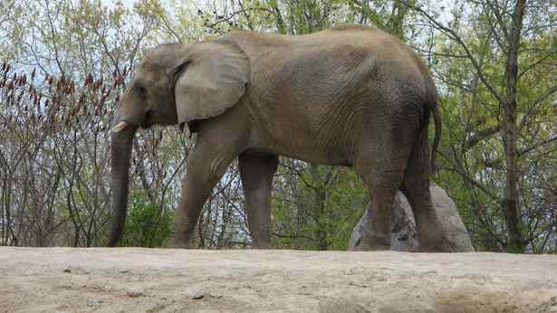 Thika, one of the Toronto Zoo's three remaining elephants, walks around it's enclosure.