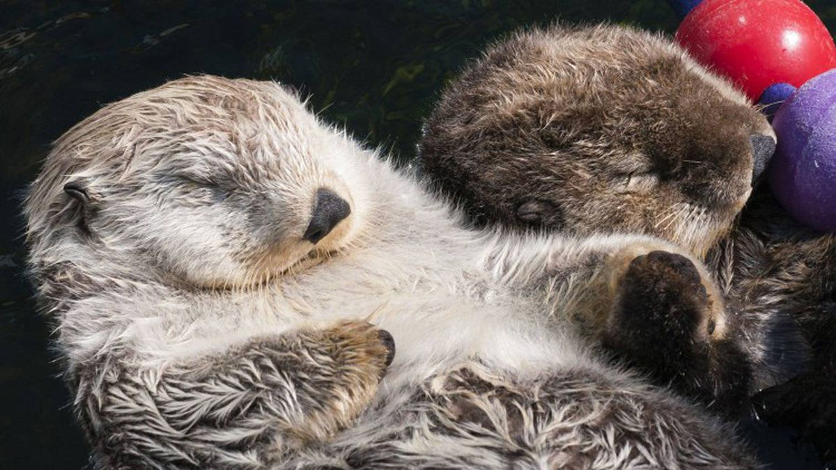 Vancouver Aquarium sea otters Milo and Tanu gained international fame after being filmed holding paws.