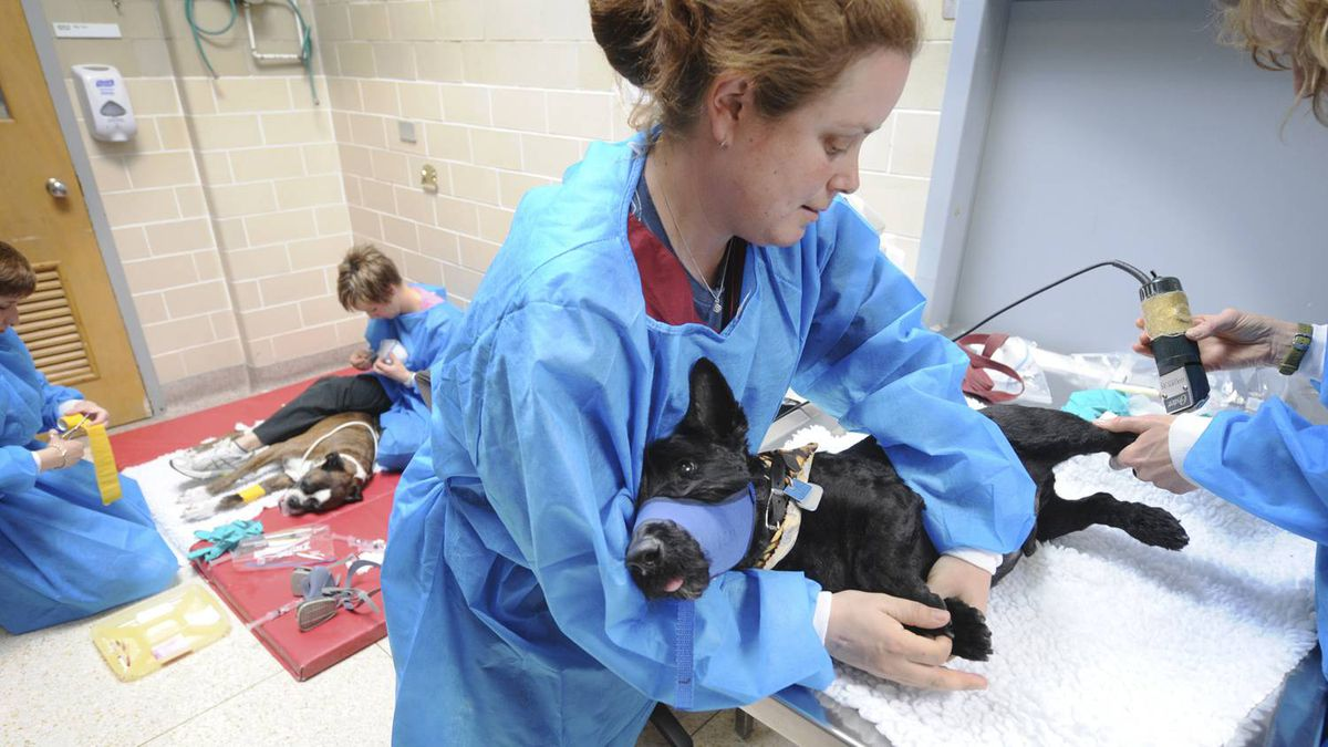 Canine patient Watson is prepared to receive chemotherapy as part of his cancer treatment at the University of Guelph's Small Animal Clinic in Guelph, Ont.