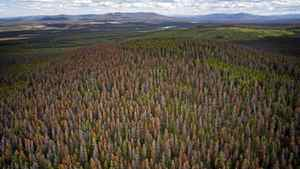 Dead Red Pine trees near Williams Lake, B.C., in 2007. B.C. government projections show that after the timber killed by pine beetles has been logged off, a major shortage of harvestable trees will occur, starting within two years and lasting for as long as 50 years.