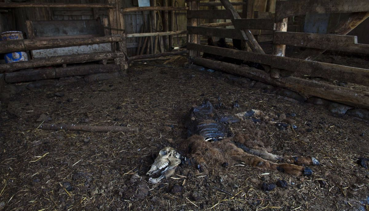 A dead calf decomposes inside a barn in the abandoned, town of Naraha, inside the 20-kilometer exclusion zone around the Fukushima Daiichi nuclear plant, in northeastern Japan July 9, 2011. A year after the Tsunami, cleanup has begun, but experts say areas inside the nuclear exclusion zone will be difficult to decontaminate.