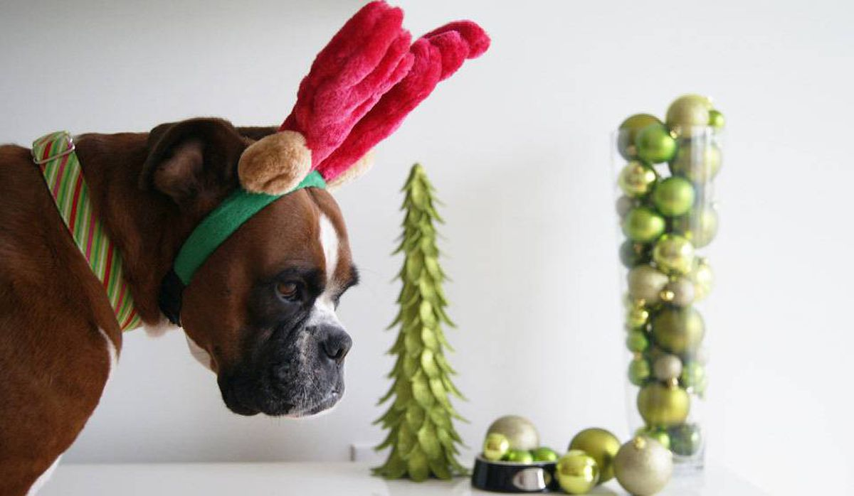 Ruby, an incredibly patient if mildly humilated boxer, models holiday antlers: $6.99 at Pet Valu.