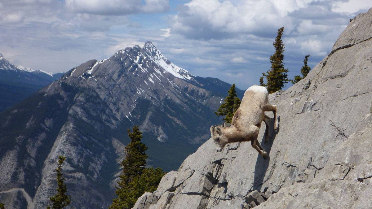 Rachel Wevrick photo: Teenage bighorn sheep makes a decision - A young bighorn sheep scampers down a vertical rock wall in Jasper National Park, Cinquefoil trail. Taken May 22 2011 by the Casey family. Photo has not been enhanced or retouched in any way.