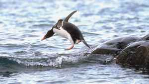 Penguin jumping into water