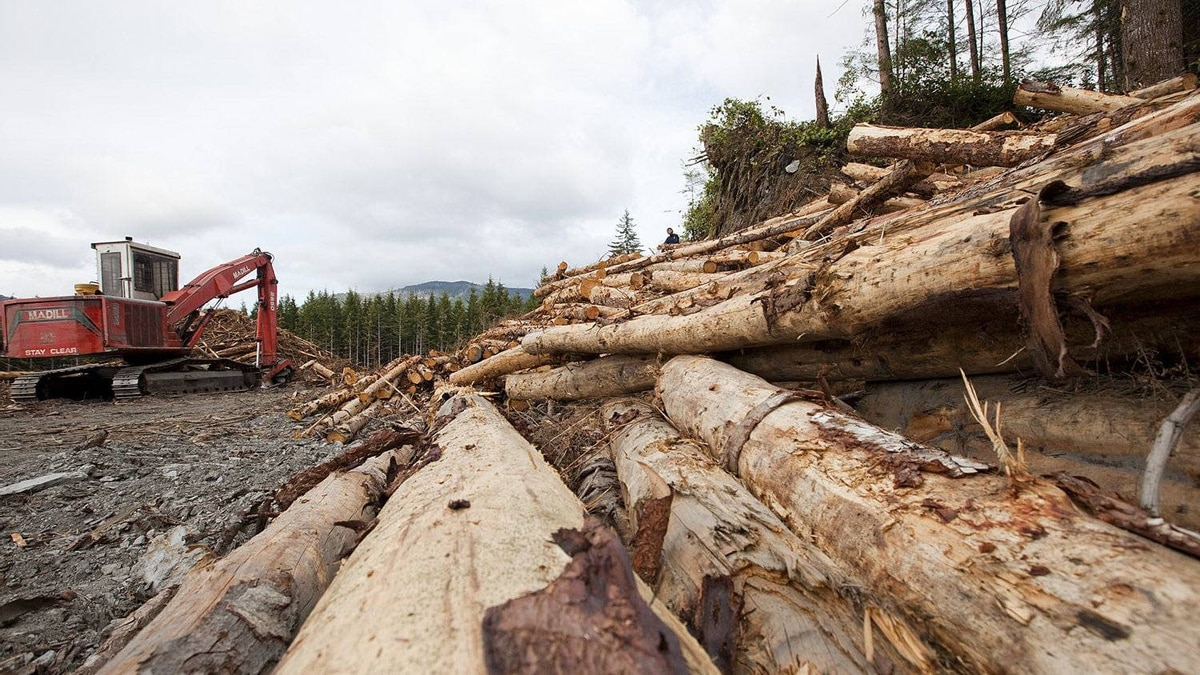 Logs at a clear cut site in the San Juan River Valley, B.C., in in 2010, less than a kilometre away from the biggest Douglas-fir tree in the world.