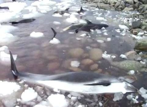 Dozens of white-beaked dolphins dead after being trapped in ice off Newfoundland