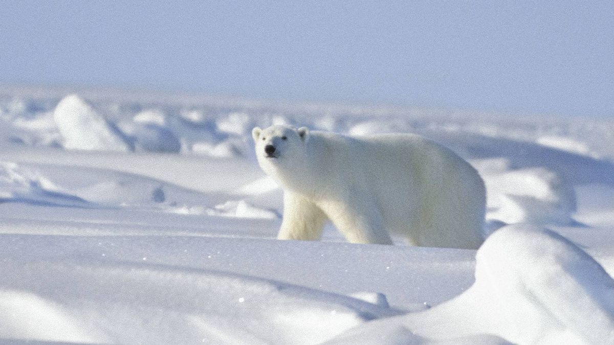 """Polar bears are """"cute and cuddly"""" to many people who have never been to the Arctic. But, says Jerry Kobalenko, a small proportion -- adolescent males -- are especially curious, and they may approach a traveler."""