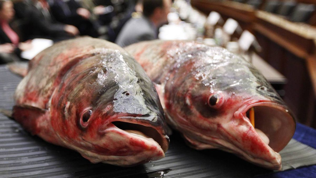Two Asian carp are displayed Tuesday, Feb. 9, 2010, on Capitol Hill in Washington, during a Subcommittee on Water Resources and Environment hearing on preventing the induction of the carp, a aquatic invasive species into the Great Lakes.