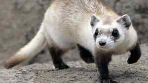 Reintroduced in Saskatchewan, the black-footed ferret is an example of increasing biodiversity in developed countries. Rick Wilking/Reuters