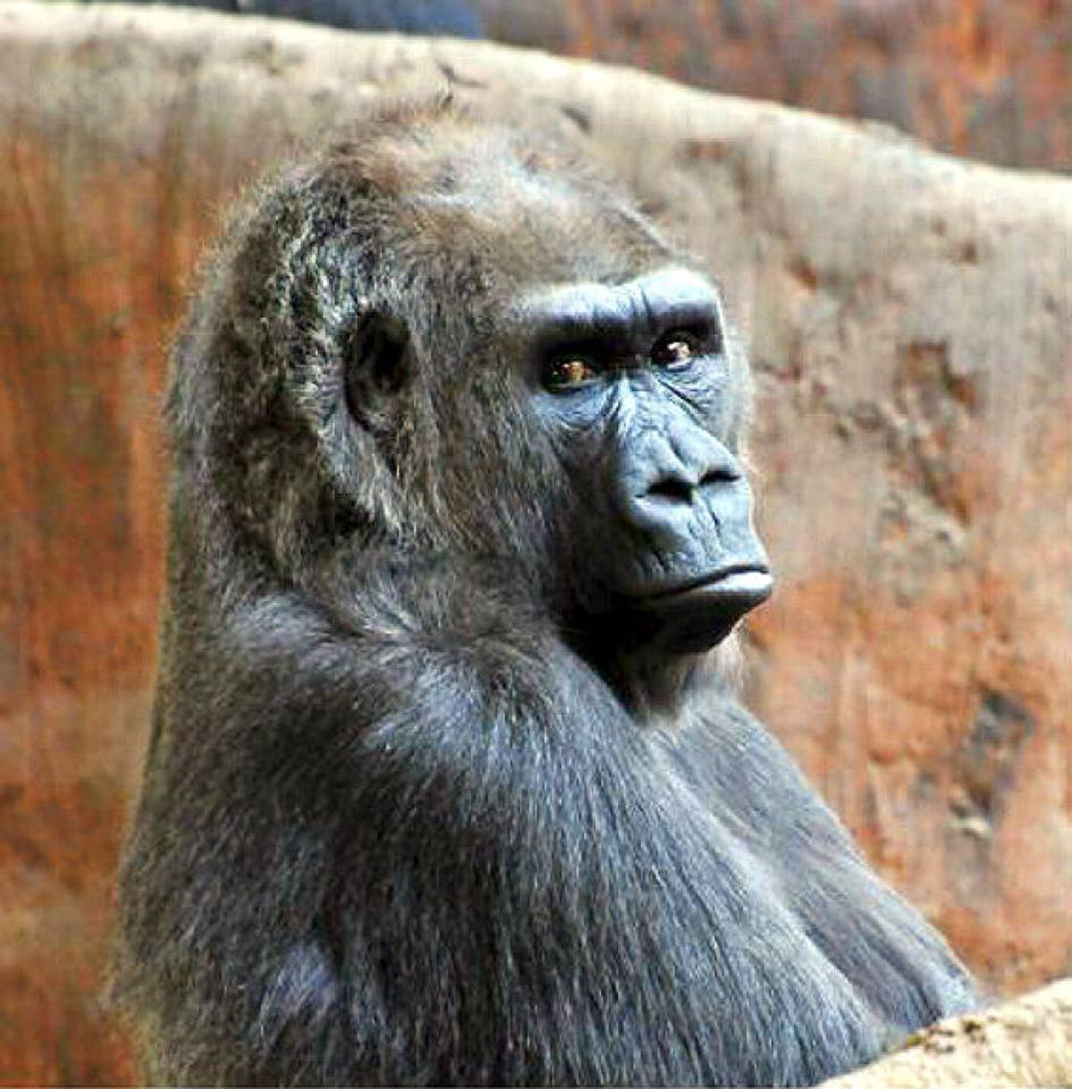 The Toronto Zoo said Tuesday that Samantha, a 37-year-old gorilla, had to be euthanized after suffering a second serious stroke.