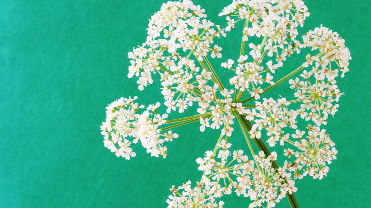Goutweed may look pretty - but it will take over a garden.