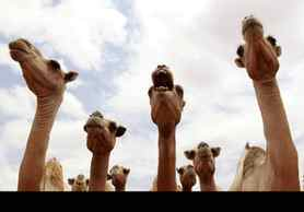 Camels wait for their turn to drink water from a tank near Harfo, Somalia.