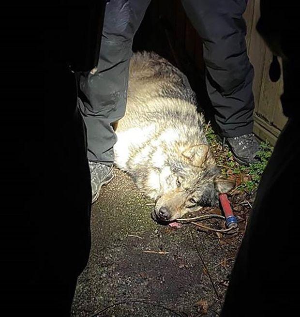 Wolf safely captured after wandering through Victoria near B.C. legislature