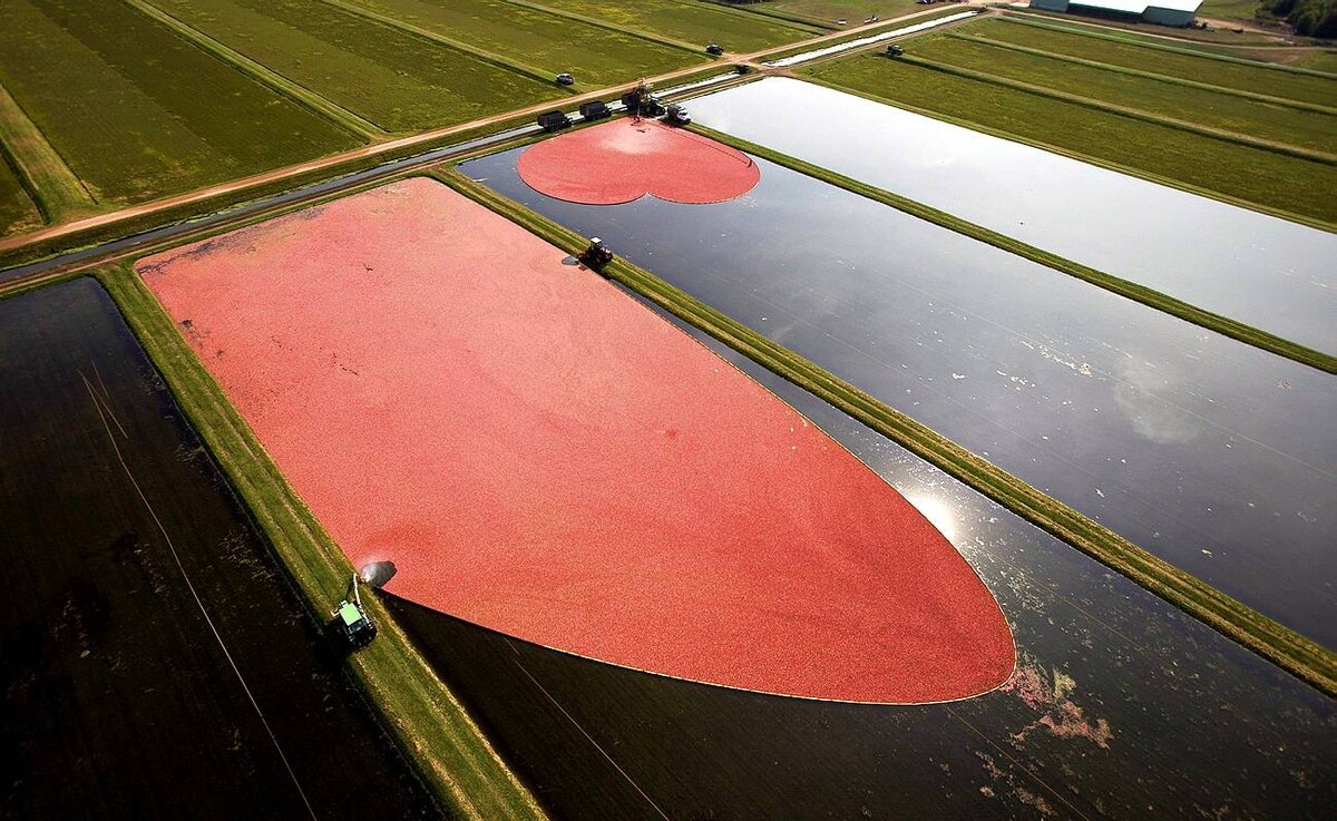 In this photo provided by the Wisconsin State Cranberry Growers Association, cranberries are harvested near Wisconsin Rapids, Wis., Thursday, Sept. 24, 2009. Trade representatives from 12 countries, including Australia, Austria, Czech Republic, Germany, Netherlands, Poland and South Korea, visited the marsh to learn how cranberries are grown and harvested.