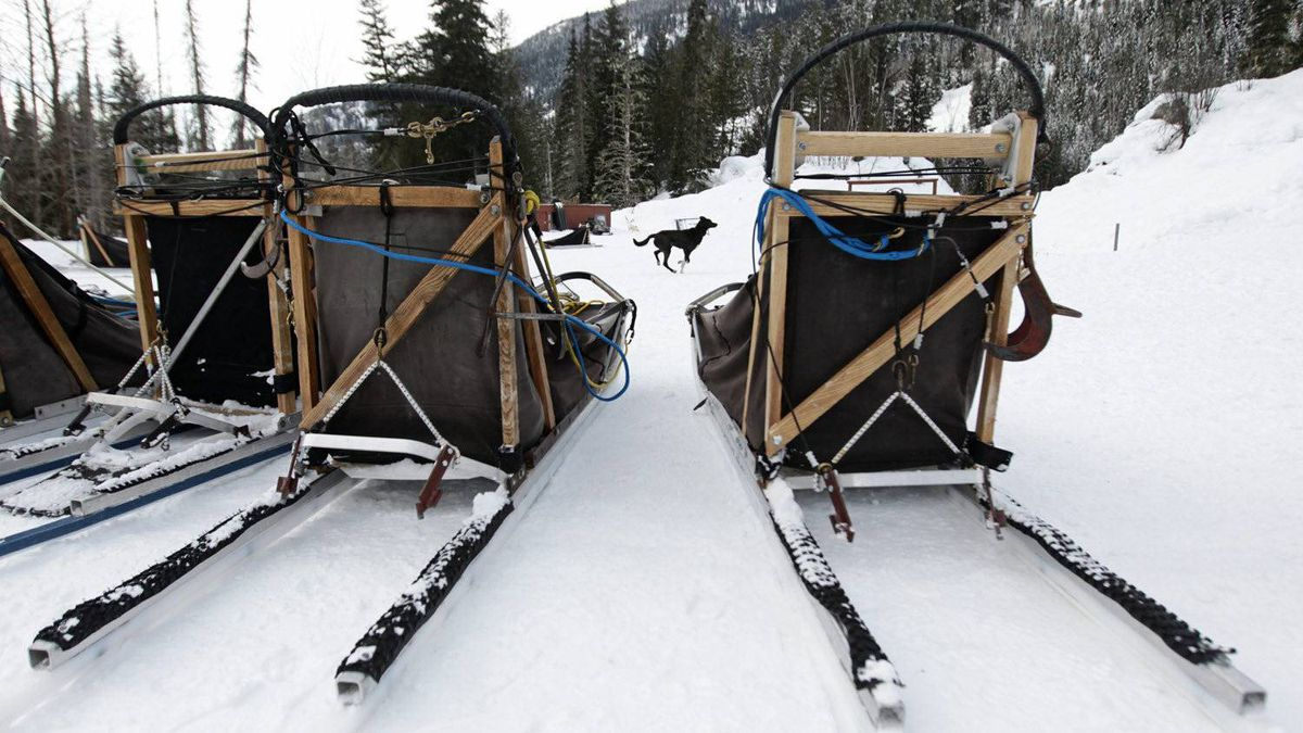 Framed by sleds, a sled dog runs to a kennel truck after returning from a tour run by Outdoor Adventures Whistler in the Soo Valley north of Whistler, B.C., on Monday January 31, 2011.