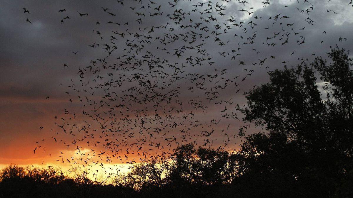 Twenty million bats emerge from Bracken Cave in Bracken, Texas.