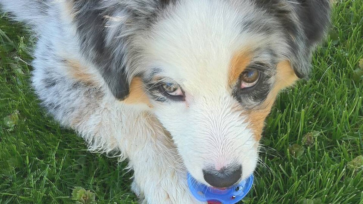 From Lisa Susin in This is Maia an Austrialian Shepherd pup. She was about 3.5 months when this photo was taken - currently she is 4 months. She found a soother during our walk..
