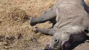 A rhinoceros lies dead after being killed at Krugersdorp Nature Reserve outside Johannesburg July 14, 2010.