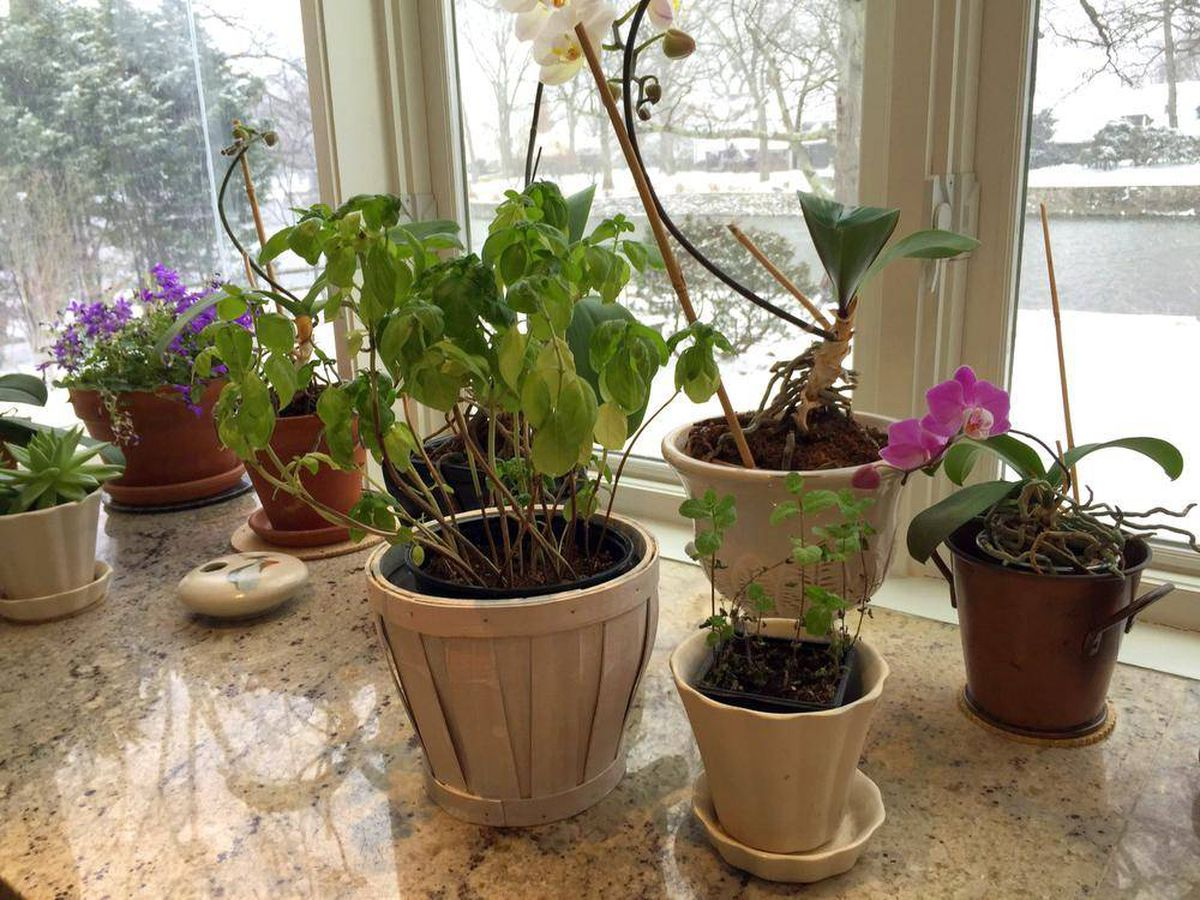 Indoor Herb Garden Winter How to help your indoor herb garden thrive even in winter the the associated press workwithnaturefo
