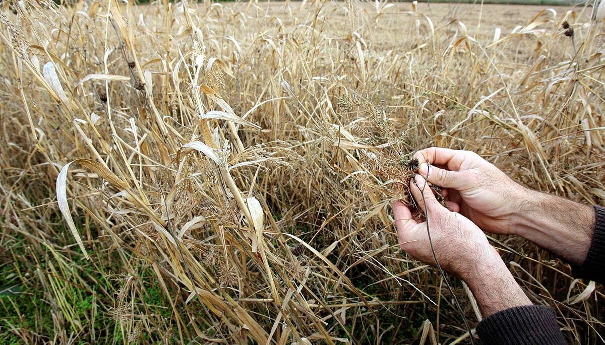 Italian farmer Giuseppe Oglio shows how millet grows with weeds at one of his plantation in Belcreda Gambolo, 30 km (20 miles) southwest of Milan in northern Italy November 6, 2009.