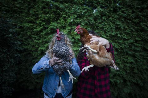 Thinking about raising your own backyard chickens in Toronto? Consider these tips