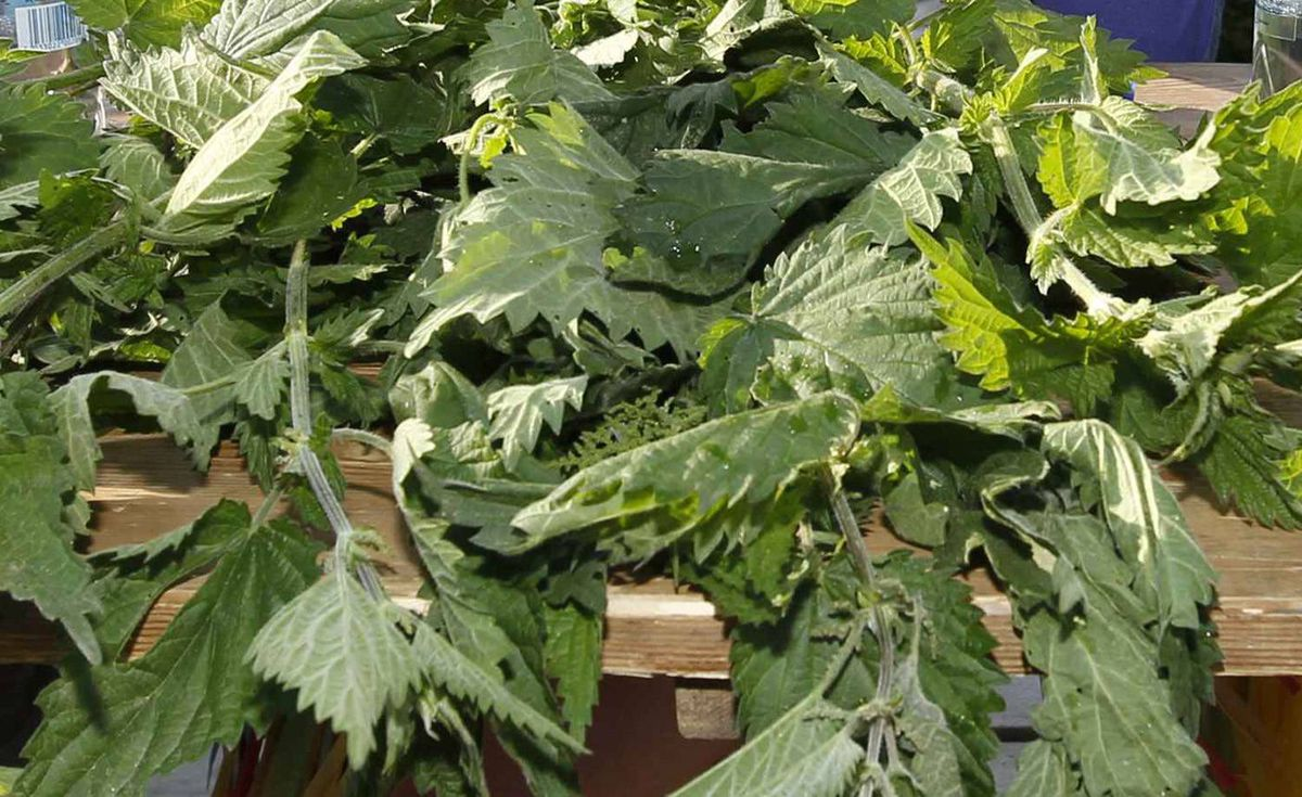 <b>The stinging nettle:</b> This hardy plant is a vital food for butterflies and other insects. Stinging nettles are found across Canada. Although they can give you an itchy rash, the nettles are rich in iron, potassium, calcium and vitamins. <i>- Michael Kesterton</i>