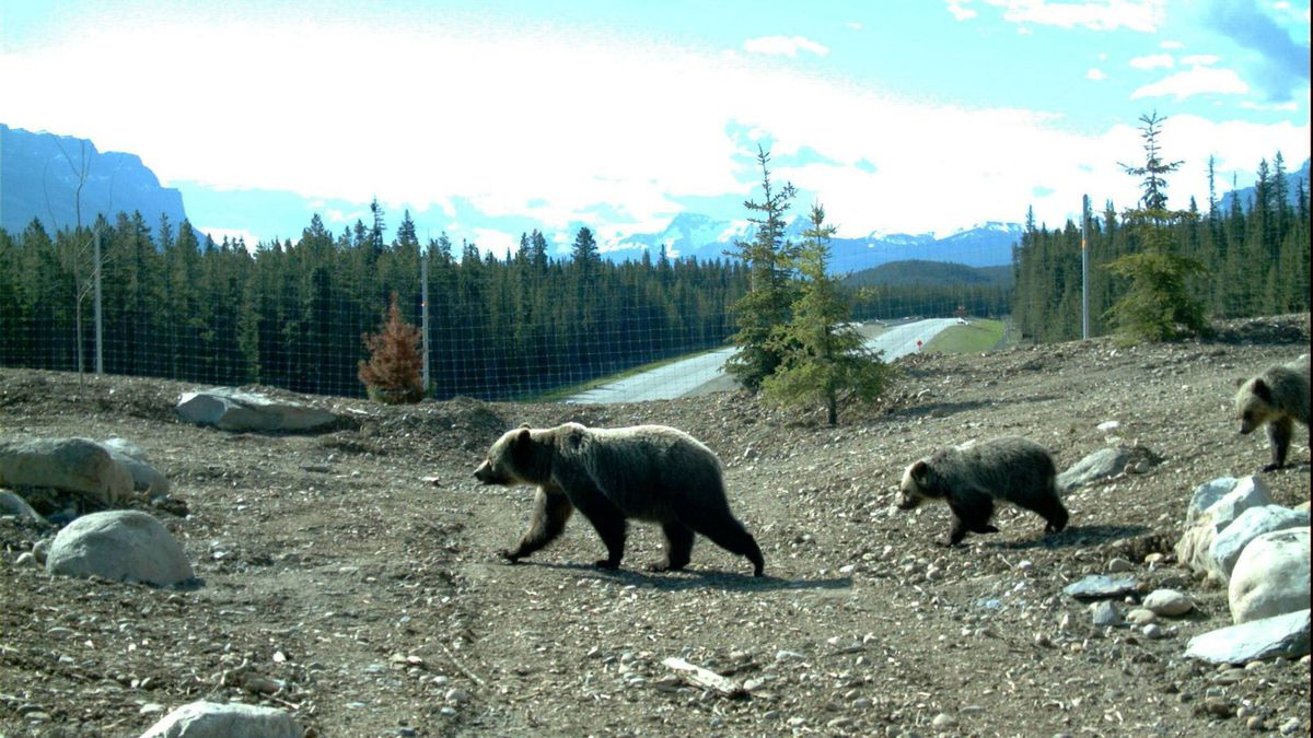 A grizzly and her cubs on the Temple overpass in Banff National Park.