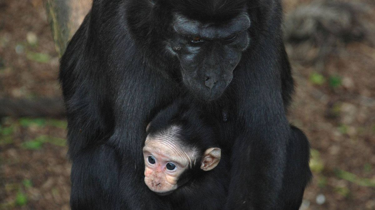 Sulawesi crested macaques