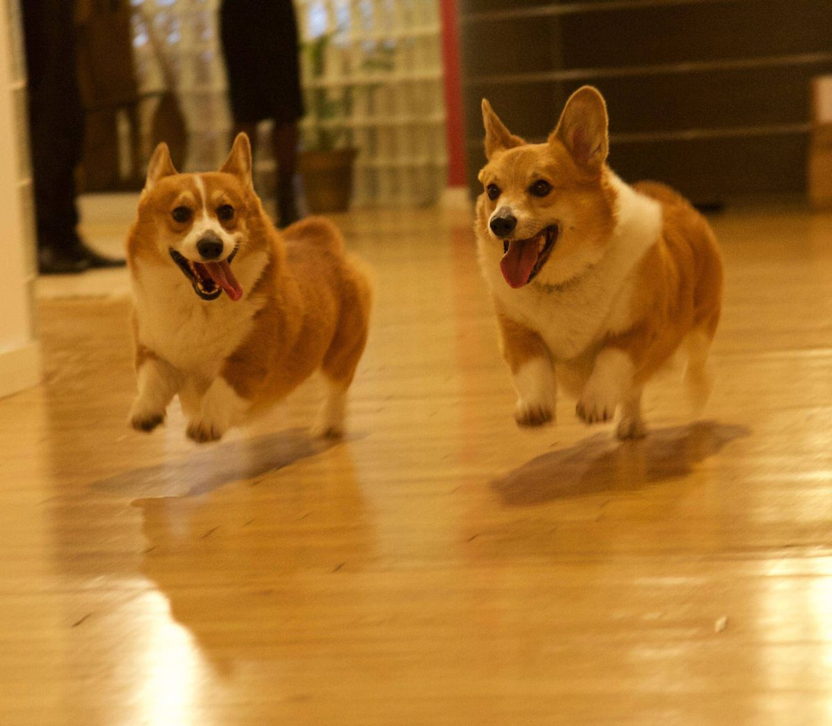 Pembroke Welsh Corgis Butters And Hachi Add Adorability To