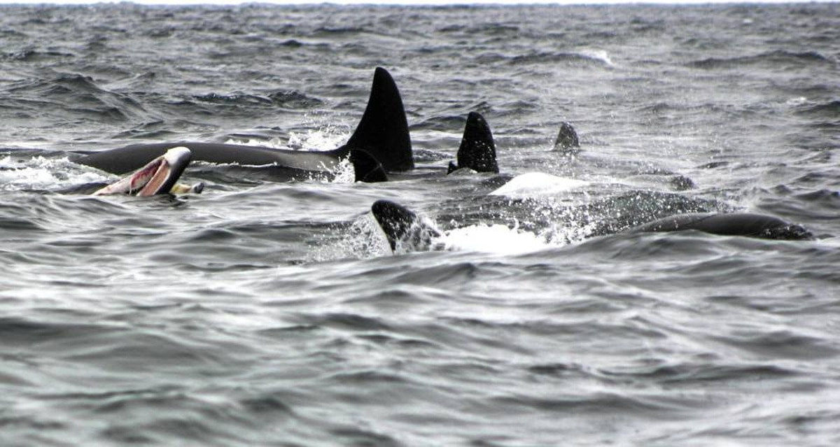 A group of 14 to 18 orcas killed and ate a minke whale near Witless Bay, Newfoundland. The Atlantic Whales group has documented this particular group of orcas hunting around the coast of Newfoundland and Labrador since 1999. Orcas seem to enjoy the massive tongues of baleen whales, such as the minke on the left of this photo.