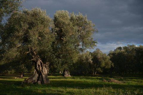 Italian olive farmers face disastrous harvest