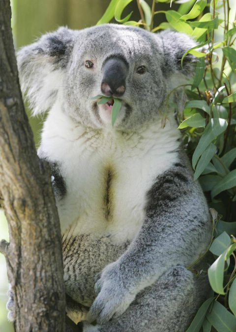 How does the male koala make such a loud and deep mating call?
