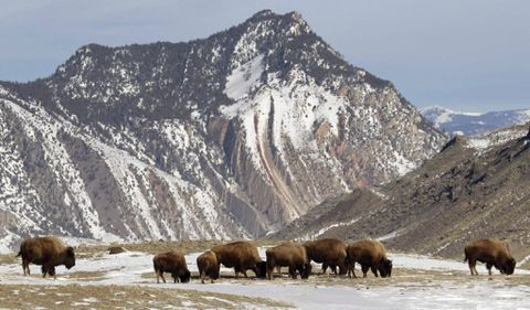 A living symbol of American West under threat as Yellowstone bison cull begins