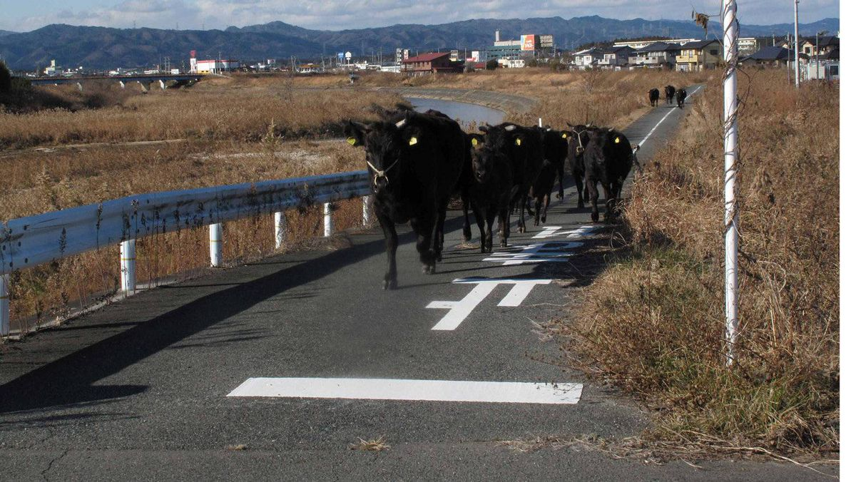 Cows that escaped from a farm wander in the exclusion zone around the crippled Fukushima Daiichi nuclear power plant.