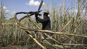 A worker cuts sugar cane for raw sugar and ethanol fuel production in Pradopolis, about 300 kms northwest of Sao Paulo, Brazil.