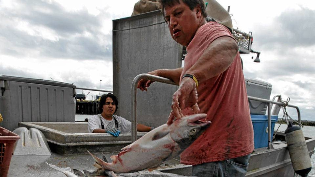 Bob Wilson, right, and his 24-year-old son Rob Wilson, both of Victoria, B.C., unload their catch of sockeye salmon at Steveston Harbour during a 32-hour fishery window in Richmond, B.C., on Thursday August 26, 2010.