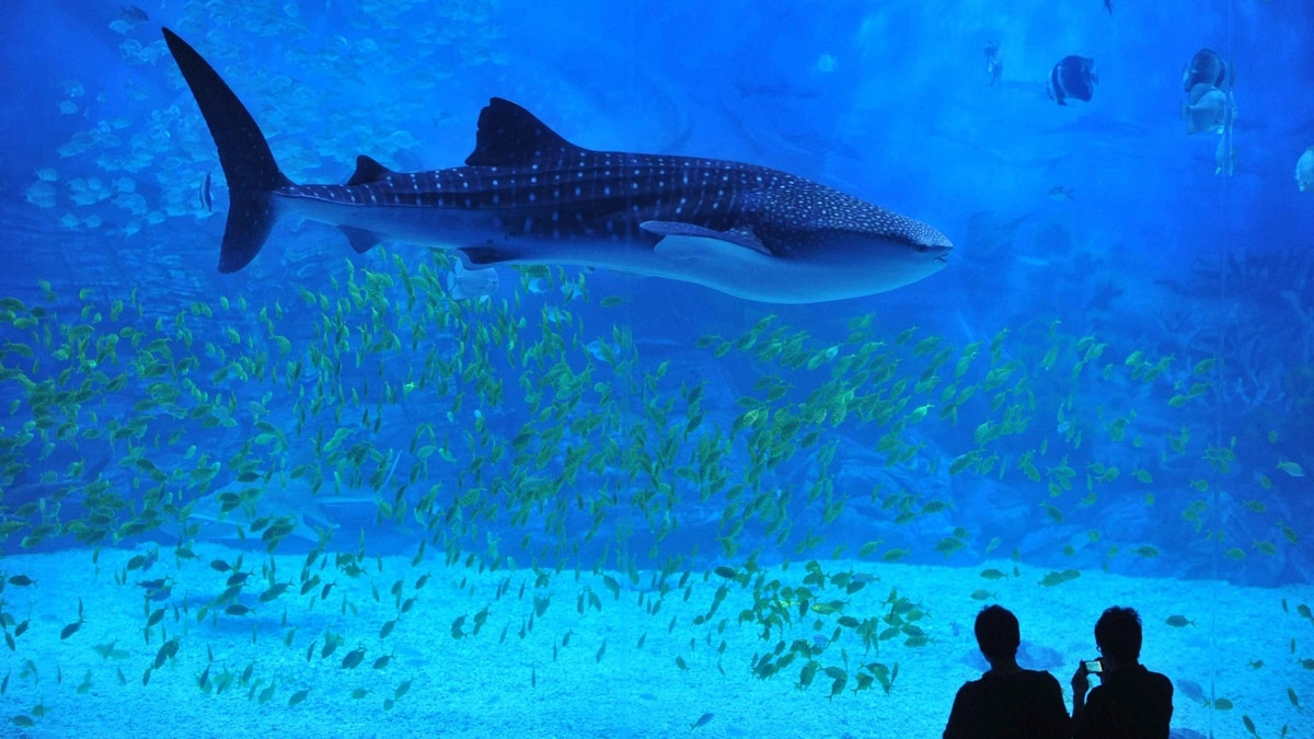 An instructor gestures to a whale shark, the latest attraction at the Yantai aquarium in northest Shandong province on September 23, 2011.