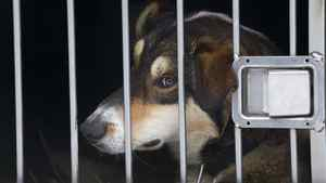 A sled dog peers out of a window in a truck kennel on its way to do tours for Whistler Outdoor Adventures near Whistler, January 31, 2011.