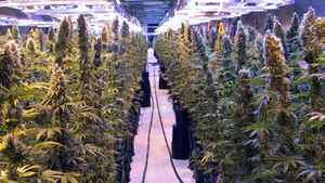 The first crop of the federally approved medical marijuana is seen in this recent handout photo in Flin Flon, Man.
