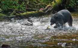 The chase? A black bear hustles to catch dinner as the salmon scatter in utter terror.