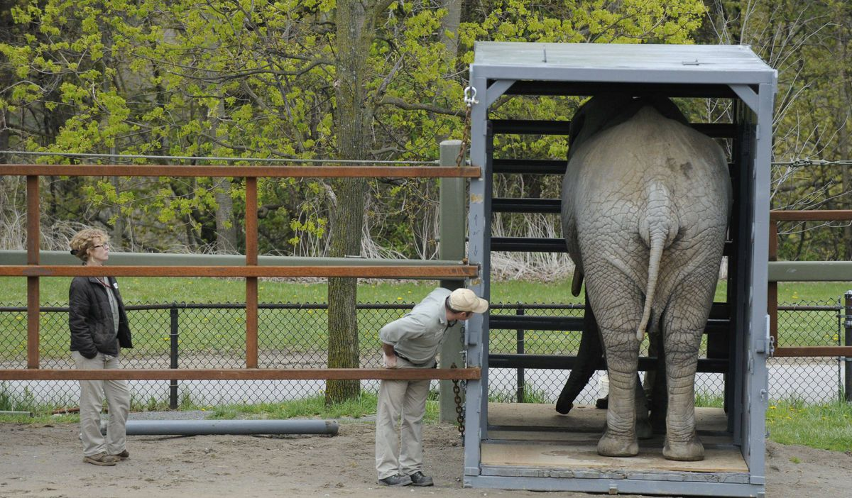 Toka , a 42 year old African elephant, is photographed on May 1 2012 at the Metro Toronto Zoo getting accustomed to the container that will be used to send her to another facility.