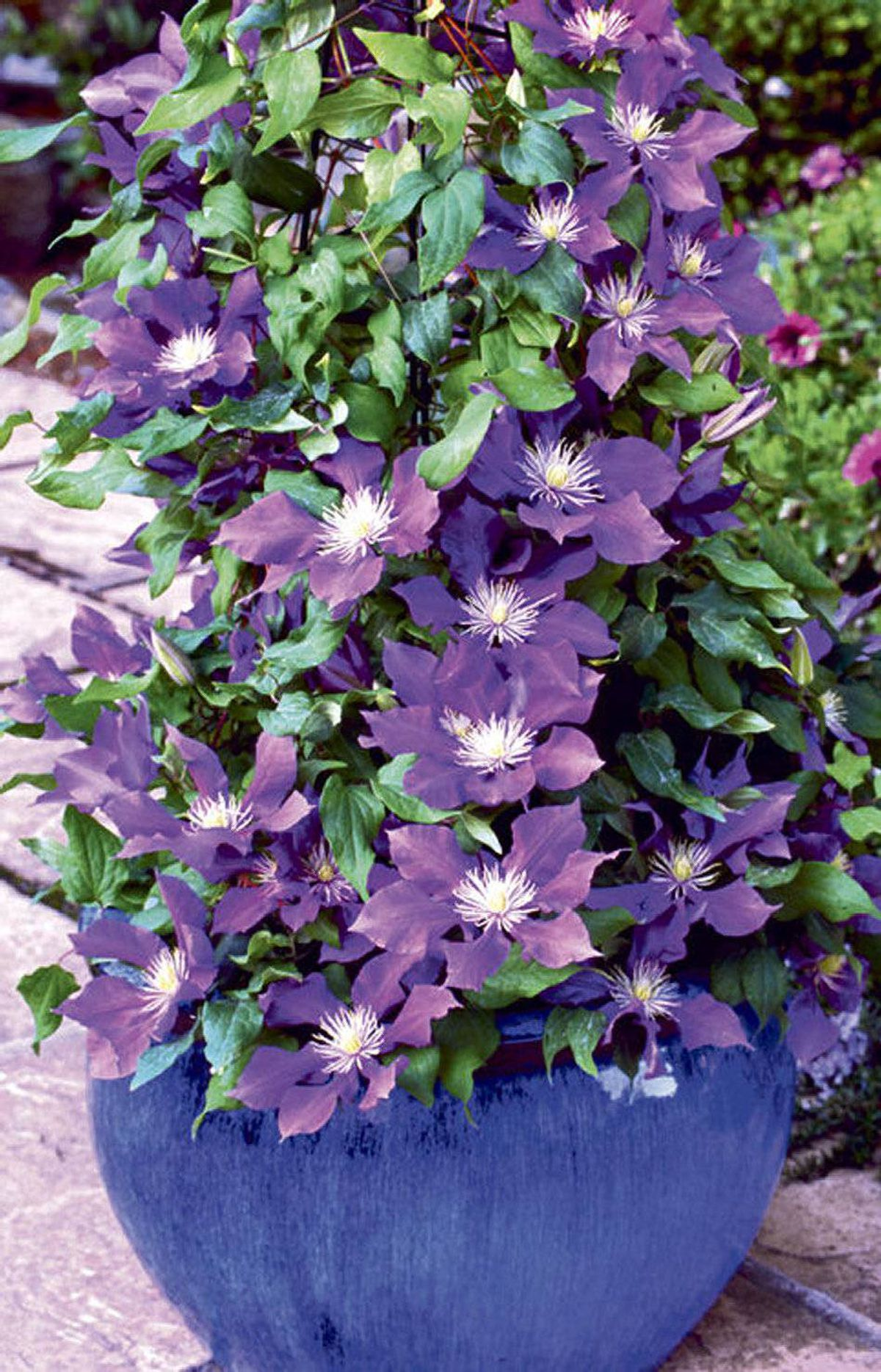 THE FLOWER CHILD PC Clematis chevalier, $15.99 at Loblaw garden centres across Canada.